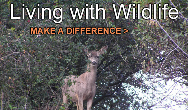 Deer-Living with Wildlife