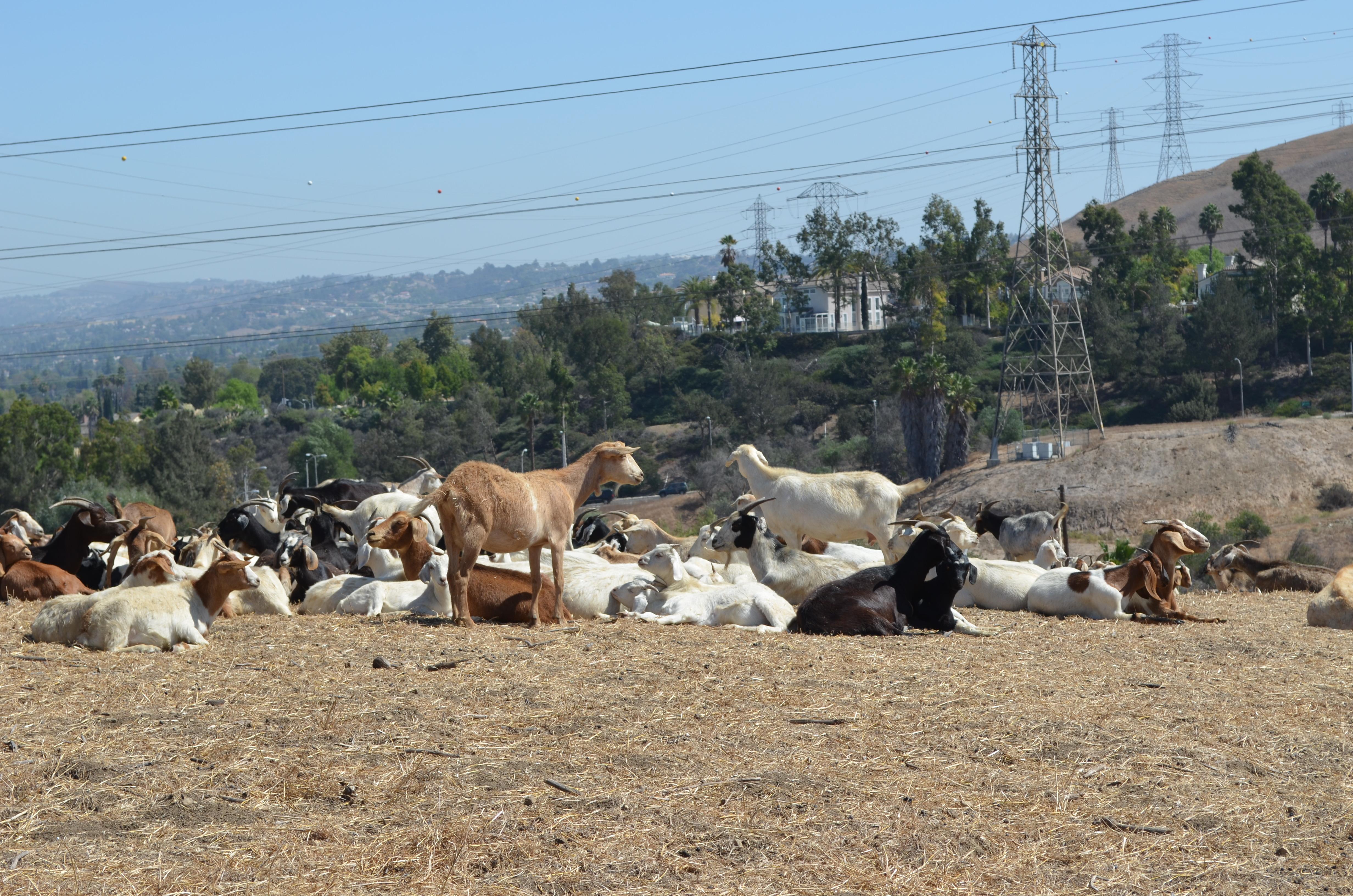 goats_24